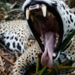 jaguar-wide-mouth