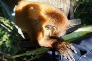 Beautiful howler monkey