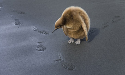 Penguin Chick Looking at Footprints
